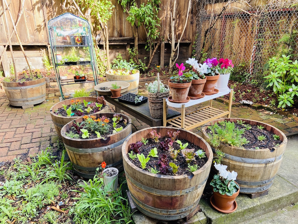 Backyard garden in pacific heights with wine barrels filled with lettuce and flowers