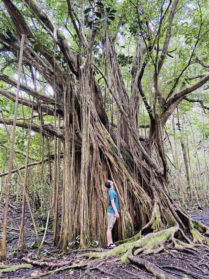 Tall tree in Puna Trail