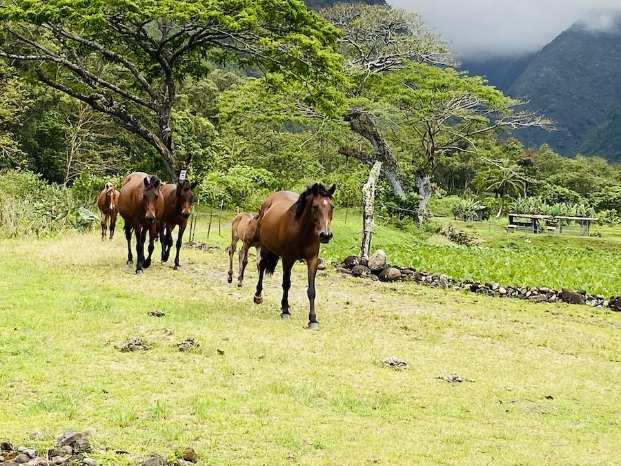 Wild horses in Waipi'o Valley