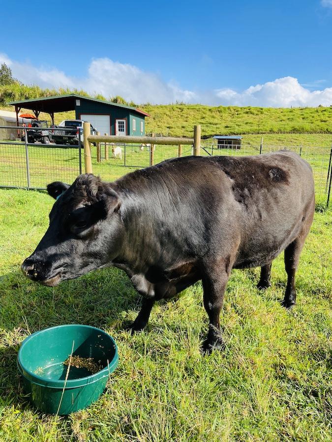Cow on farm in Waimea