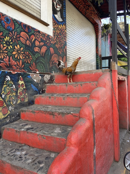 Rooster on streets of Mexico