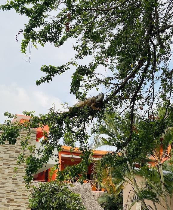 Iguanas in a tree