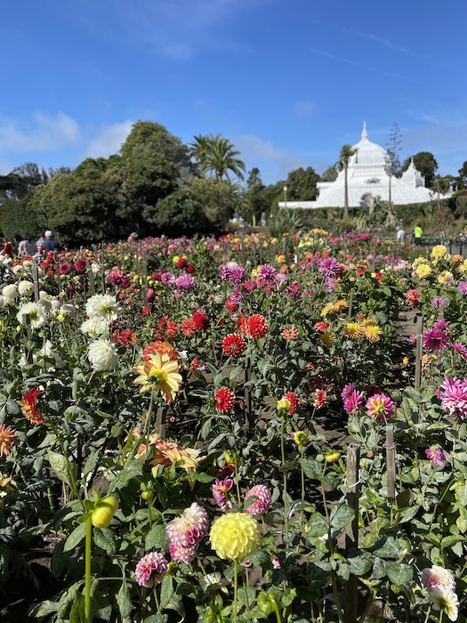 Dahlias at Conservatory of Flowers